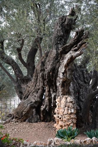 ÖLBERG, JERUSALEM Gethsemane